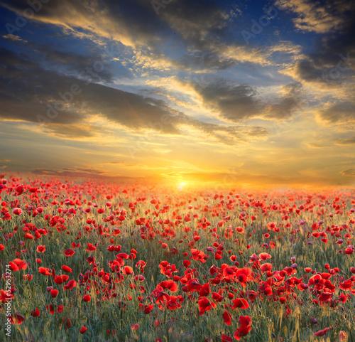 Fototapety, obrazy : sunset over poppy field