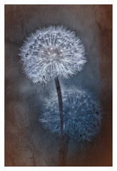 Wattebällchen © Schilderkroete