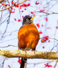 Red Breasted American Robin with Berries