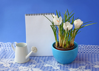 White crocuses and empty notebook on a  blue background