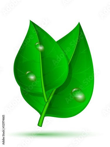 Two green leaf with drops of water isolated on a white backgroun