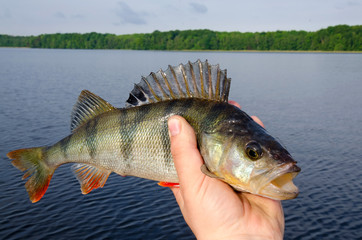 Big perch in angler hand