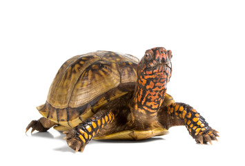 Three-toed Box Turtle (terrapene carolina triunguis) looks ahead
