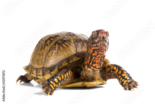 Staande foto Schildpad Three-toed Box Turtle (terrapene carolina triunguis) looks ahead