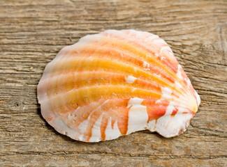 Jakobsmuschel orange