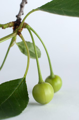 Unripe green cherry