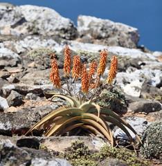aloe vera from Socotra Island