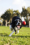 Border Collie Fetching Dog Ball Toy at Park poster