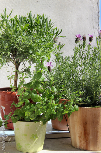 Rosemary in the pot