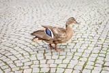 Duck walking on the tiled floor.