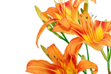 Tiger lilies on white background. Isolated