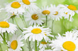 Blooming camomile flowers