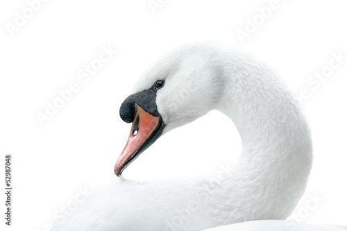 Foto op Canvas Zwaan portrait of white swan