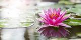 Pink lotus © anekoho