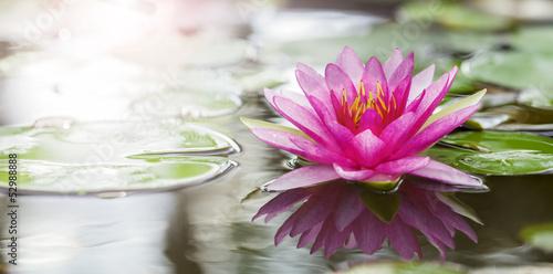Pink lotus - 52988888