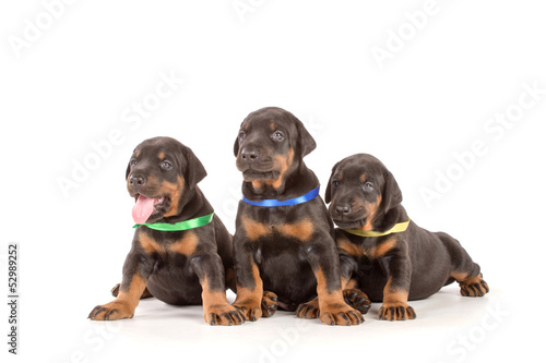 Group of dobermann puppies
