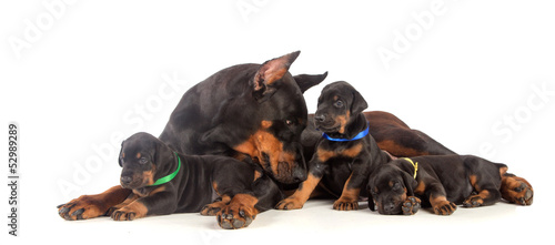 Doberman dog with puppies