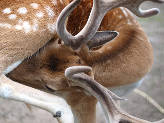 Antler close up Fallow Deer (Dama dama)