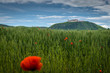 Poppies in the wheat canopy and Monastery Goettweig, Austria.
