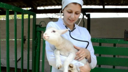 vet listens to a stethoscope lamb