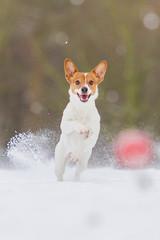 Jack Russel Hündin im Schnee