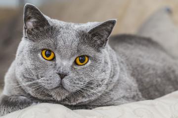 Graue Katze - British Kurzhaar