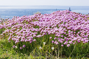 field of wildflowers at Cape Ra, (Pointe du Raz), westernmost Fr