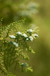Thuja in nature. macro