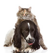 English Cocker Spaniel dog and cat. looking at camera. isolated