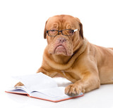 Dogue de Bordeaux read book. isolated on white background