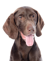 German Shorthaired Pointer in front.  isolated
