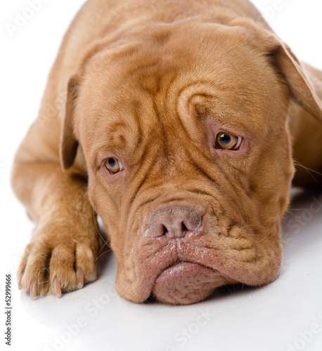 sad Dogue de Bordeaux in front. isolated on white background