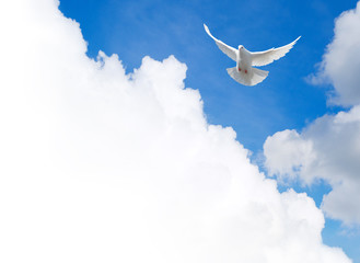 White dove flying in the sky. Template with a text field.