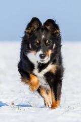 Rennender Hund im Schnee