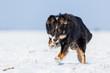 Border Collie Mix hat Spaß im Schnee