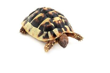 baby of Hermann tortoise