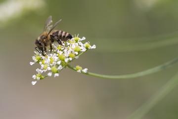 Wilde Honigbiene