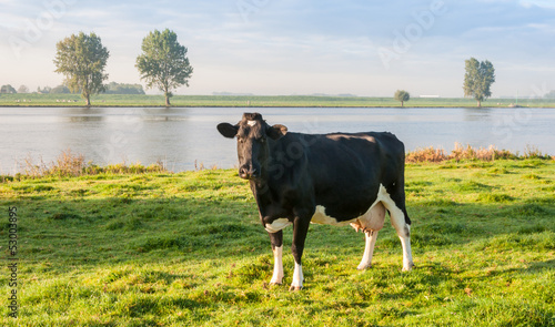 Black and white cow standing on the bank of a Dutch river