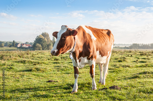 Red brown cow standing alone in the early morning sunlight