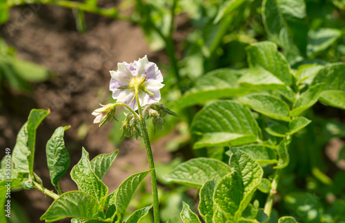 potato flower