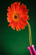 orange gerbera in a vase