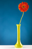 orange gerbera in yellow vase