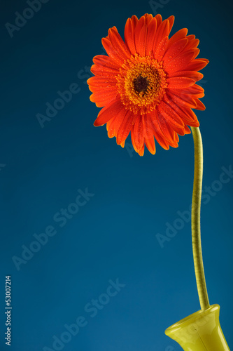 orange gerbera on blue screen