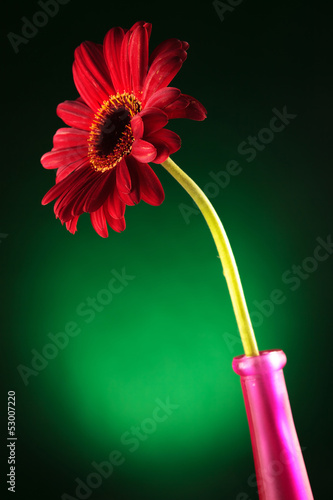 red gerbera in a vase