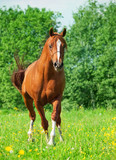 chestnut arabian horse in movement