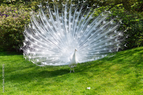 In de dag Pauw white peacock with flowing tail