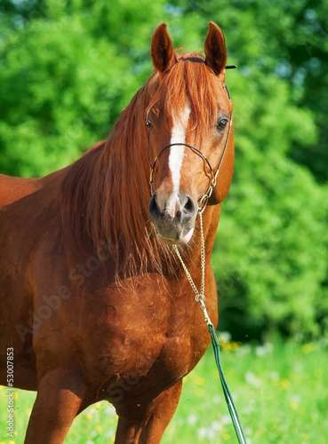 portrait of chestnut arabian horse