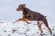 Brauner Dobermann in Action