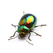 Mint Leaf Beetle (Chrysolina herbacea) isolated on white