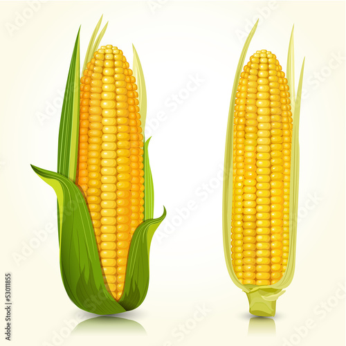Ripe corn on the cob